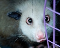 Cross-Eyed Opossum Heidi Is Dead