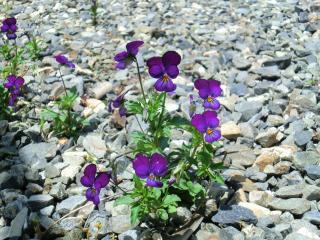 砂利道の花