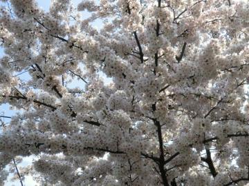 110410桜①