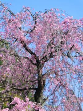 110414しだれ桜①
