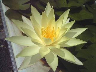 110731_00001バス停の睡蓮の花