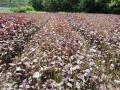 2011年産の紫蘇の一番刈り