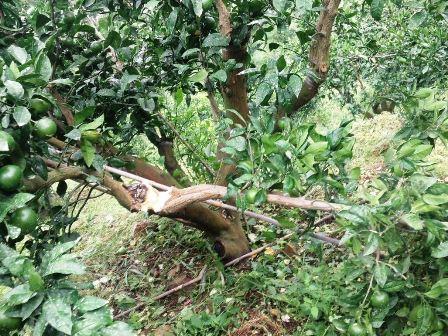 サルに折られたゆら早生の樹