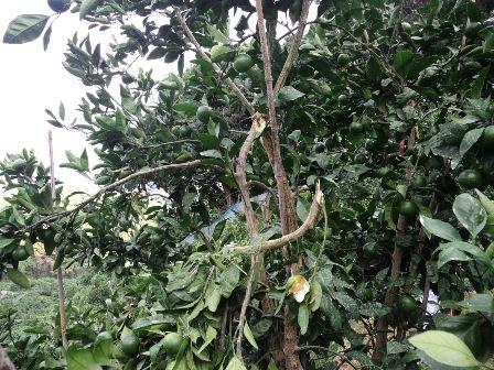 サルに折られたゆら早生の樹2
