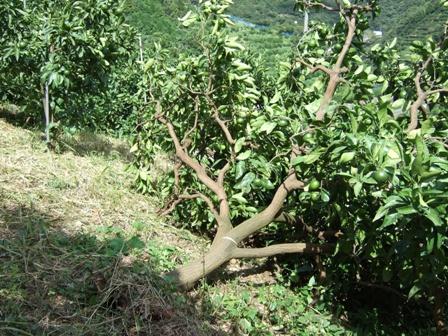 台風で倒れたみかんの樹