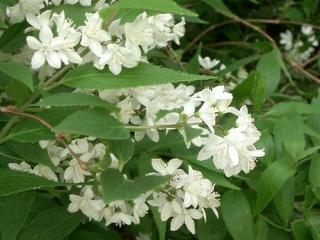 卯の花、ウツギ