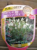 0921白花ワレイモコウ