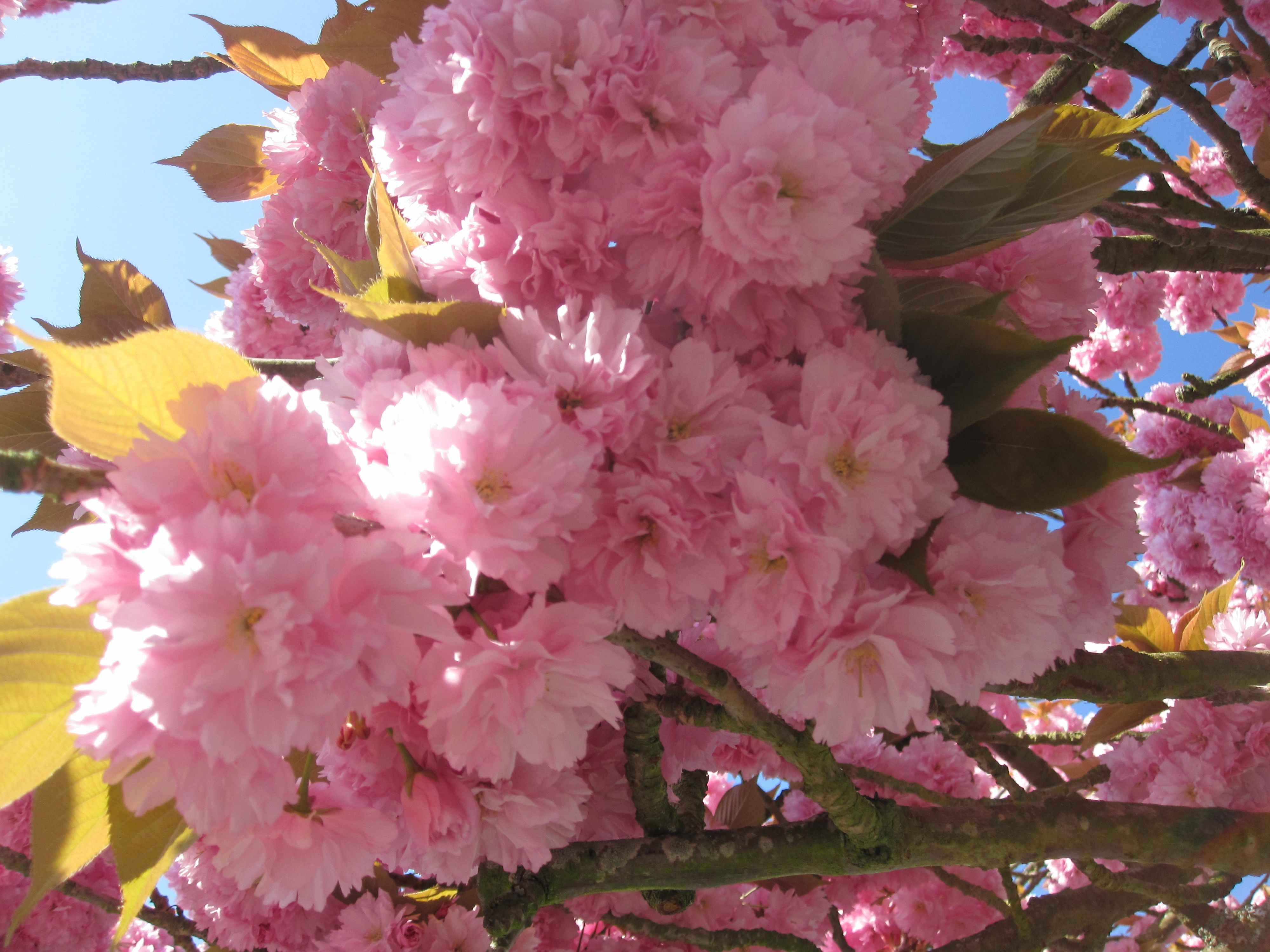 桜ぴんくブログ