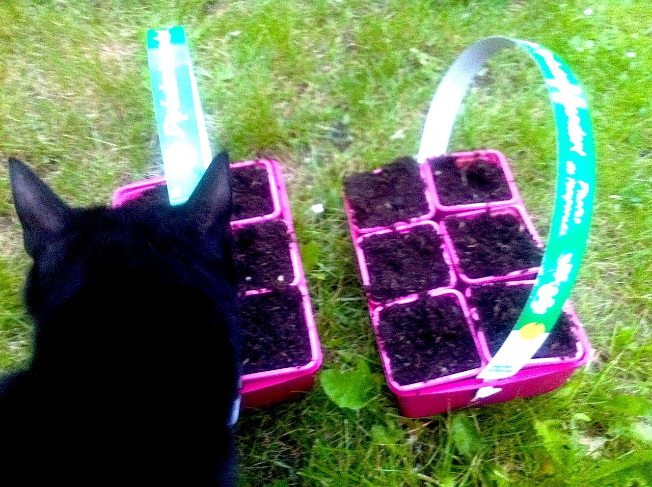 ひまわり種植え2