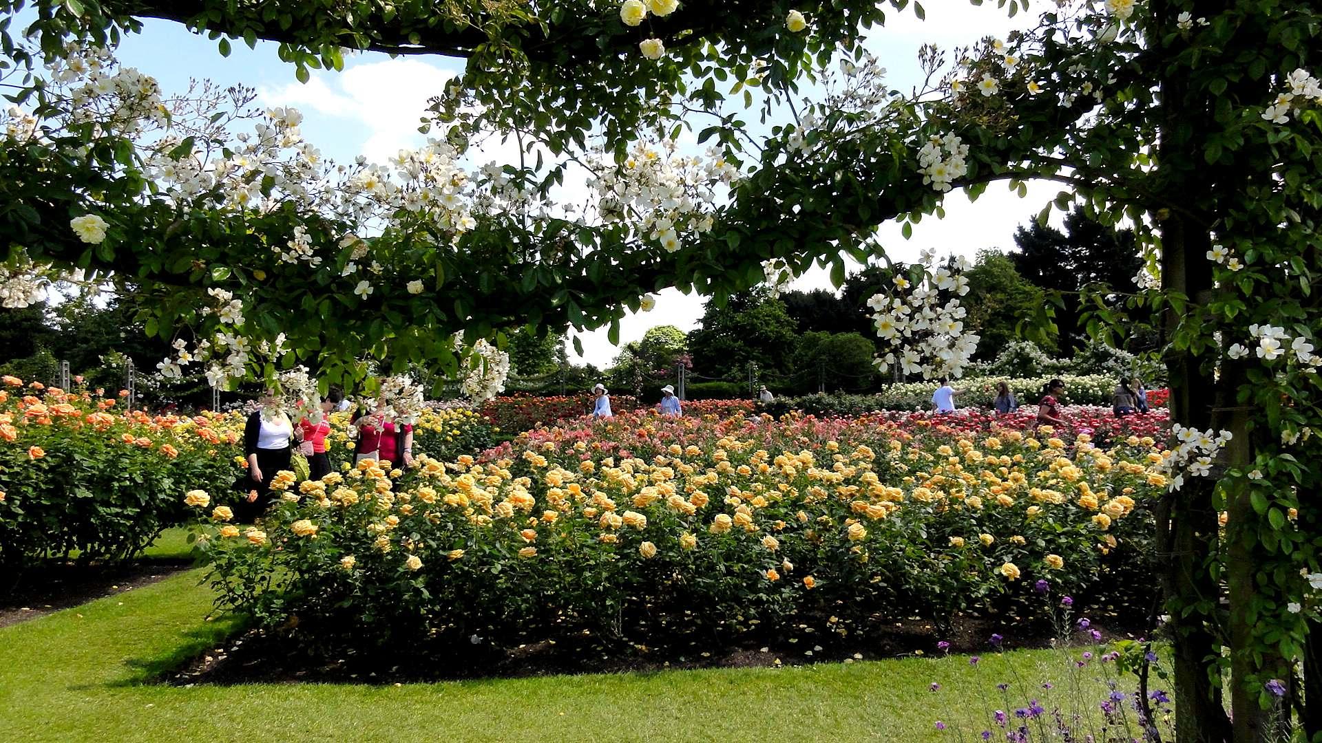 regents roses2