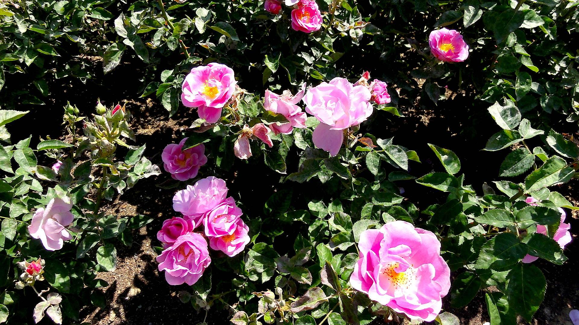 regents roses1