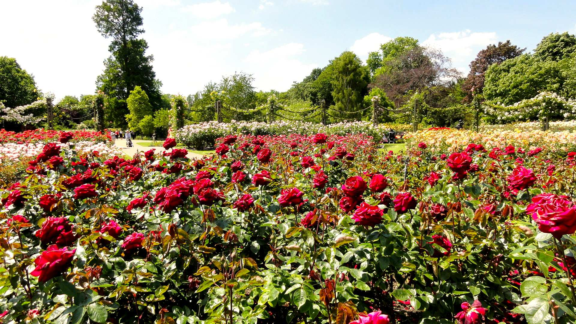 regents roses4