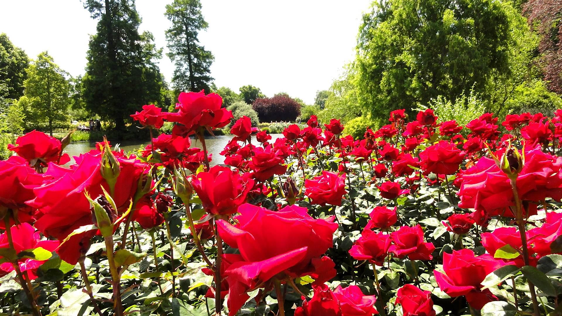 regents roses3