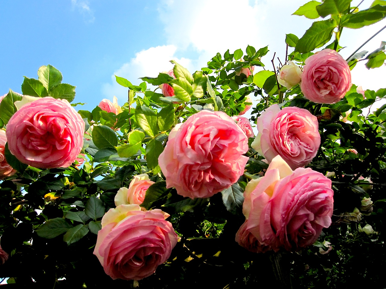 rose2010-1.jpg