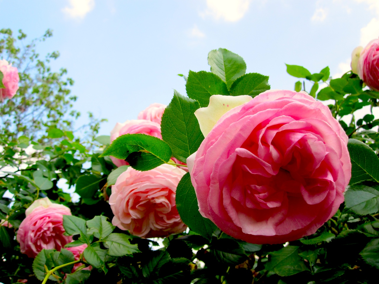 rose2010-2.jpg
