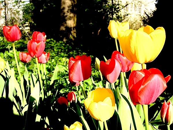 tulipeblog.jpg