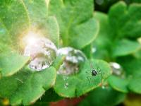 11.2.18 愛機エンジニアリングのケシの葉の水滴とハエ科昆虫