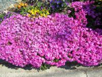 2011.4.25 隣の花1