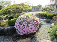 11.4.29 泉川小学校のツツジ