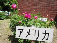 11.5.14 マイントピア別子芍薬祭り3