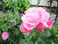 2011.5.22 我が家の花5