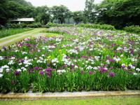 2011.6.12 池田池菖蒲祭り2