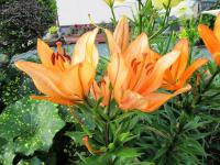 2011.6.23 近所の花2