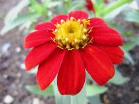 2011.6.23 近所の花4