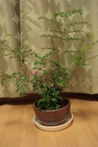 シマトネリコ鉢