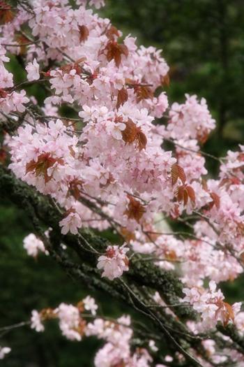 国泰寺の老翁樹ブルーム