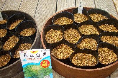 白菜の種植え