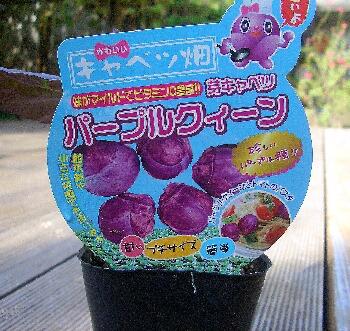 芽キャベツパープルクィーン