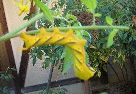 黄色い芋虫
