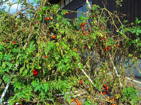 11月のトマト