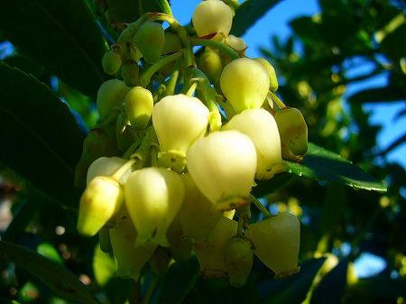 白花姫いちごの木2