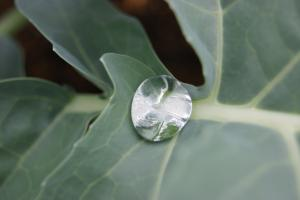 ブロッコリー 水玉