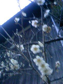ほころぶ梅の花1