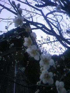 ほころぶ梅の花2