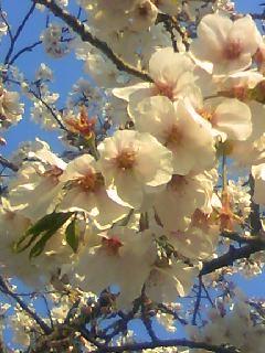 満開の桜あっぷ!