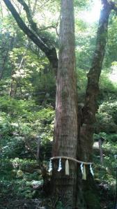 1109連理の杉