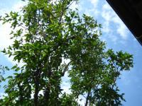 ナツメの木