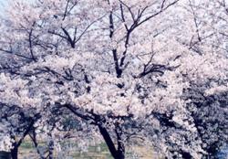 昔の桜ブログ