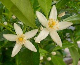 シークワーサーの栽培、開花