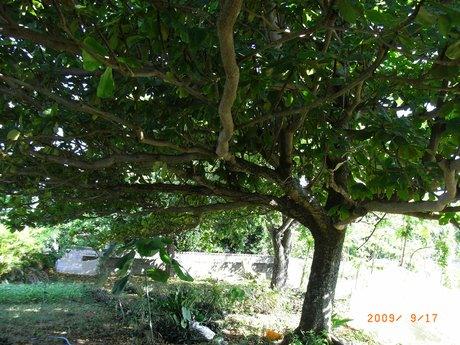 ももたまなの木