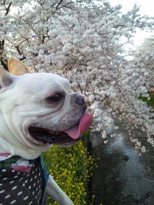 もなかさんと桜②