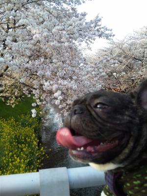 よもぎちゃんと桜②