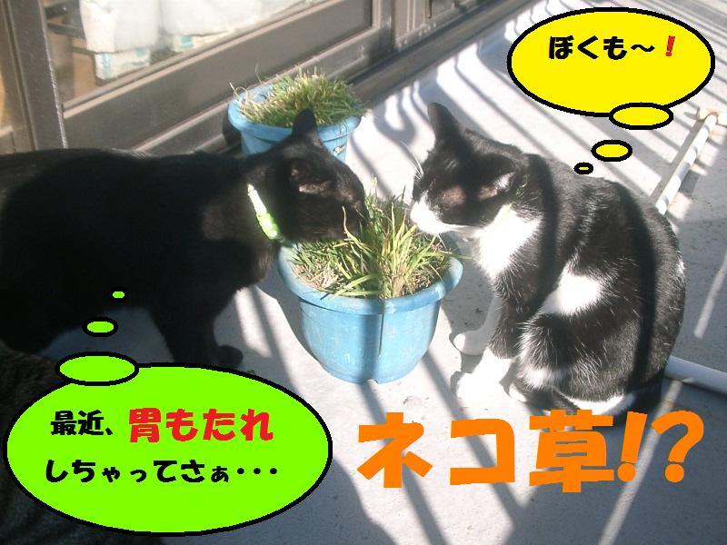 ネコ草、大繁盛!