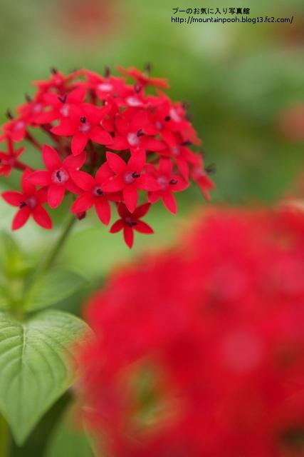 由布島の花3