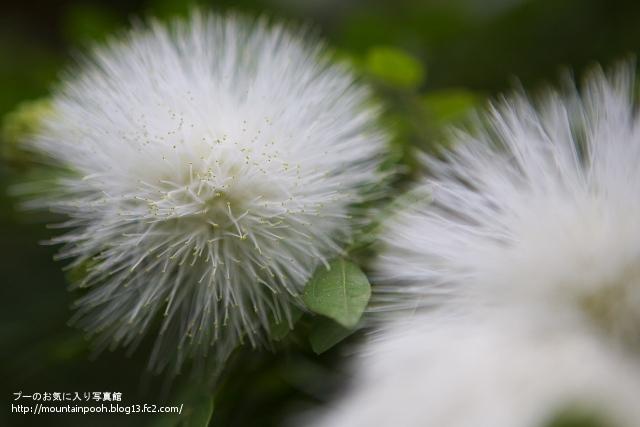 由布島の花5