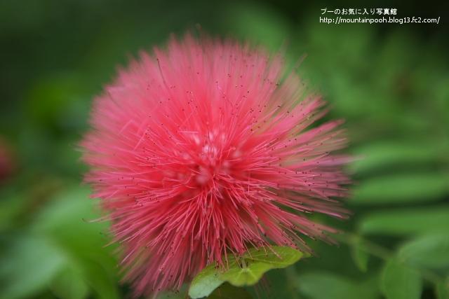 由布島の花6